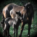Kimberlake Lady Belle with her 2014 colt